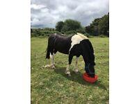14. 2hh gypsy cob mare