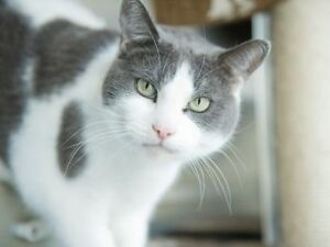 Missing: White and Gray Cat from Springwater Subd.