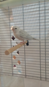 bébé canarie +cage