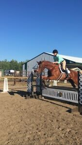 Hanoverian/Thoroughbred For Lease