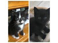 Kittens for sale - 2 left