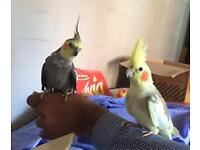 Fully Tamed Cockatiels Male/Female