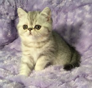 Silver Shaded Exotic Shorthair kittens