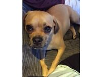 Beautiful Young Puggle For Sale