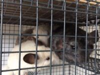 EX-RESCUE CHINCHILLAS FOR REHOMING - FREE