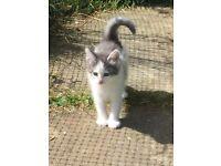 Norwegian Forest Kitten for Sale