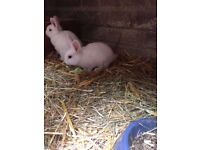 (Netherland dwarf dad X ducth mixed dwarf mum) 8 weeks old female baby rabbit and one other baby