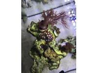Zoas for sale