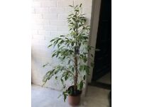 Tall Ficus indoor plant with good roots - ideal conservatory, office