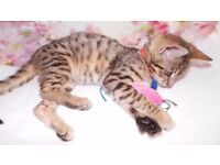 Bengal Glitter Tica Registered Girl