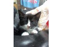 9 wk black & white kitten