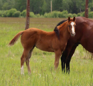 2017 chestnut superstakes filly