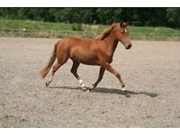 14.2 mare for sale