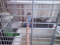 L@@K baby budgie and cage