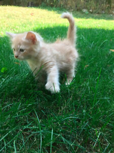 8 Wk old Kittens for Cuddles & Play!