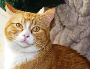 "Senior Male Cat - Tabby (Orange)-Tuxedo: ""Eddie"""