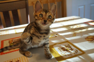 High quality brown, snow and charcoal Bengal kittens - chatons