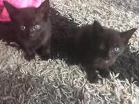 Black female kittens