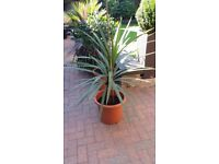 Evergreen palm tree in a pot