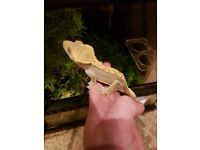 male crested gecko and viv