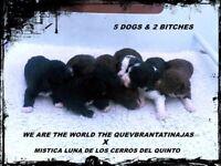 KC Spanish Water Dog Puppies