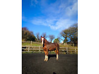 14:2hh Welsh Cob for loan, Swansea/Gower