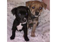 Gorgeous Labrador cross American Bulldog puppies 8 weeks old
