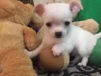 Beautiful boy Chihuahua puppy