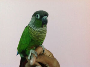 Green Cheek conures for sale!!