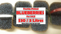 Freshly Picked BLUEBERRIES For Sale