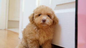 Cuddly Apricot Tiny Toy Poodle Puppy Girl