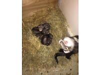 Baby ferret kits