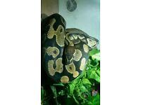 Femal royal python