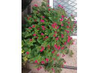 Plant (four o'clock flowers)