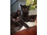 4 black fluffy kittens