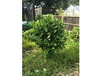 4ft Laurel established shrub £10