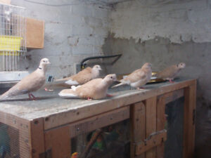 RING NECK DOVES beautiful birds FOR SALE