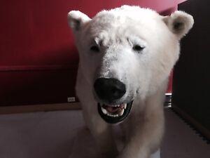 Life size polar bear mount
