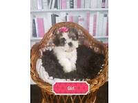 1 gorgeous girl shih tzu pup left