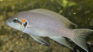 Neolamprologus Birchardi whole colony for sale