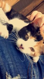 Perfect calico Manx female kitten (price OBO)