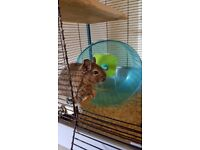 Pair of cute degus with cage