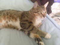 male tabby cat 1 year old