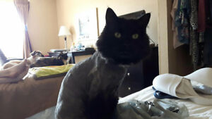 Missing... Black Angora with a white patch