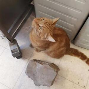 "Adult Male Cat - Domestic Short Hair: ""Ginger"""