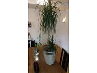 DRACAENA incl. plant pot