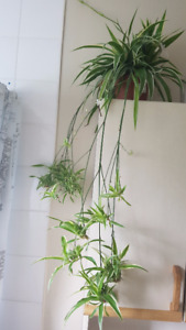 Plant/ Spider Plant/ African Spider Plant