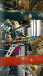 Zebra and society finches