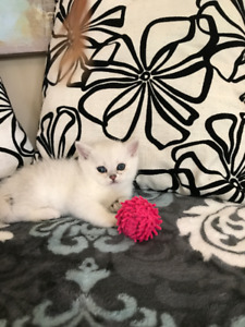 British Shorthair Kittens in Silver Shaded Color (TICA)