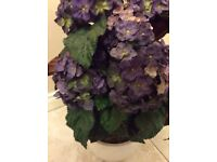 Hydrangea plant for sale